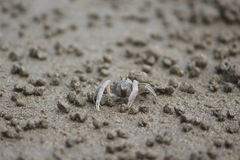 Sand Bubbler Crab or Soldier Crab royalty free stock photos