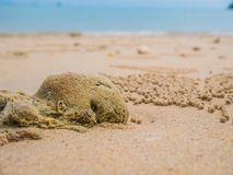 Sand Bubbler Crabs Scientific Subfamily: Ocypode ceratophthalmus. Leave mud balls around a hole on beach of pure white sand Royalty Free Stock Photo