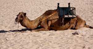 On the Sand,a Camel in the Desert Stock Image
