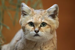 Sand cat. The detail of sand cat Royalty Free Stock Photo