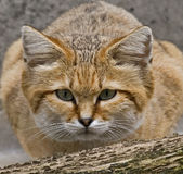 Sand cat 1 stock photography