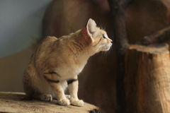 Sand cat (Felis margarita). Stock Images