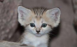 Sand cat kitten Stock Images