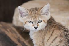 Sand Cat. A very grumpy looking Arabian Sand Cat Royalty Free Stock Photo