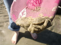 Sand covered crab. With feet of person on beach Royalty Free Stock Photo