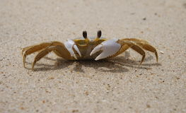 Sand crab. Ghost crab on the sand Stock Image