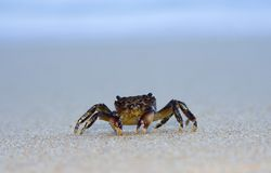 Sand Crab Stock Photo