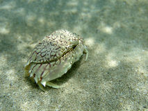 Sand crab Royalty Free Stock Photo