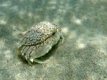 Sand crab. In coribbean sea Royalty Free Stock Photo