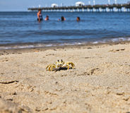 Sand crab Royalty Free Stock Photos