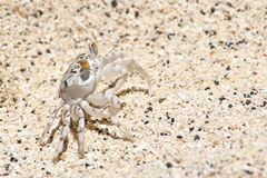 Sand crab Stock Image
