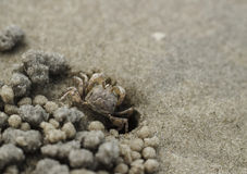 Sand crab on beach near the burrow Royalty Free Stock Photo