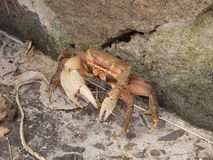 A sand crab in the caribbean. Royalty Free Stock Image