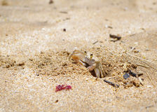 Sand crab in Makena, Maui, Hawaii. Cute little sand crab coming out of its beach hole near Makena, Maui, Hawaii Stock Photo