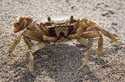 Sand crab ready to charge at Tayrona National park, Colombia Stock Photography