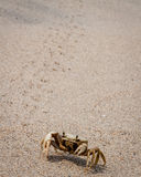 Sand crab ready to charge at Tayrona National park, Colombia. Funny little creatures digging them selves down in the sand to get away from the heat Royalty Free Stock Images