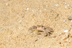 Sand crab in the sands Royalty Free Stock Photos
