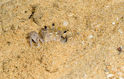 Sand crab in the sands Royalty Free Stock Image