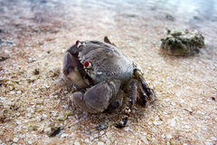 Sand crab in the seashore Royalty Free Stock Images