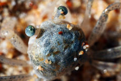 Sand Crab. Taken on Sydney's Northern Beaches, this small sand crab was burrowing in the sand Stock Photo