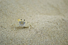 Sand Crab royalty free stock photography