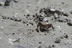 Sand Crabs Royalty Free Stock Photo