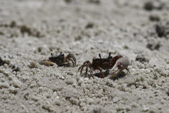 Sand Crabs Stock Photos