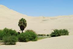Sand desert dunes and green oasis. With bushes and palm tree. Dry desert royalty free stock photography