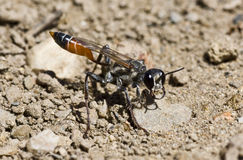 Sand digger wasp Stock Photos