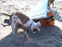 Sand digging. First time the dog at the sandy beach Stock Photography