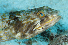 Sand Diver - Bonaire Stock Photos