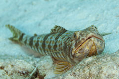 Sand Diver - Bonaire Stock Photo