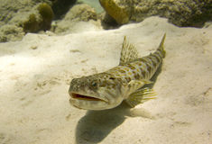 Sand diver fish (synodus intermedius) Royalty Free Stock Photo