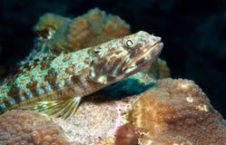 Sand diver waits for prey stock photos