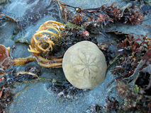 Sand Dollar. And seaweed along York Beach, Maine Royalty Free Stock Photos