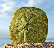 Sand Dollar Royalty Free Stock Images