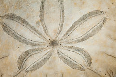 Sand Dollar. Close-up of sand  dollar (Echinoderm Stock Photo