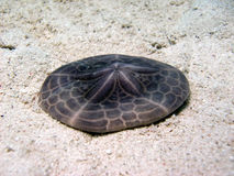 Sand Dollar Royalty Free Stock Image