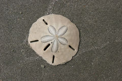 Free Sand Dollar Stock Photography - 642702