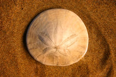 Sand Dollar. A sand dollar so delicately placed on the beach by a wave Royalty Free Stock Photography