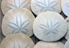Sand Dollar. Royalty Free Stock Photo