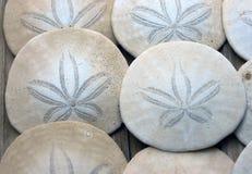 Sand Dollar. Royalty Free Stock Photo