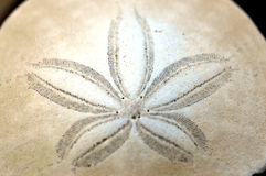 Sand Dollar. Royalty Free Stock Photos