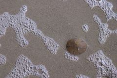 Sand Dollar on the beach. A sand dollar laying on the beach Royalty Free Stock Photography