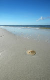 Sand dollar on beach stock image