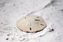 Sand dollar on the beach. Close up shot of a sand dollar on a white sand beach Stock Images