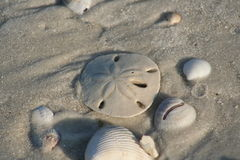 Sand dollar on the beach. Sand dollar and sea shells on the beach Royalty Free Stock Image