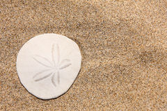 Sand dollar on the beach. Close up of beautiful white sand dollar on the beach Stock Images