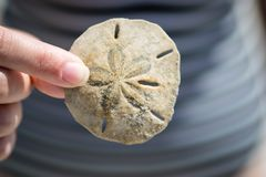 Sand Dollar. On the beach Stock Photo