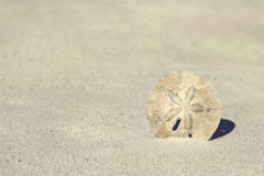 Sand Dollar at Beach Background. A white sand dollar is half burried in the white sand and framing the corner of a blurred background at a Florida Beach Royalty Free Stock Photos